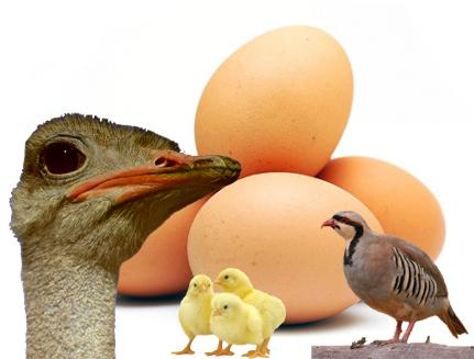 طراحی دستگاه جوجه کشی با قابلیت متعدد و استفاده از انواع تخم های مولد پرندگان