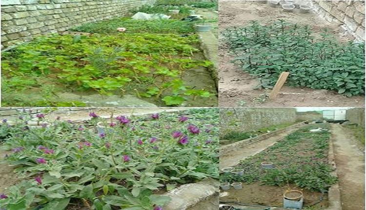 استقرار گیاهان دارویی و زراعی در محیط میدانی