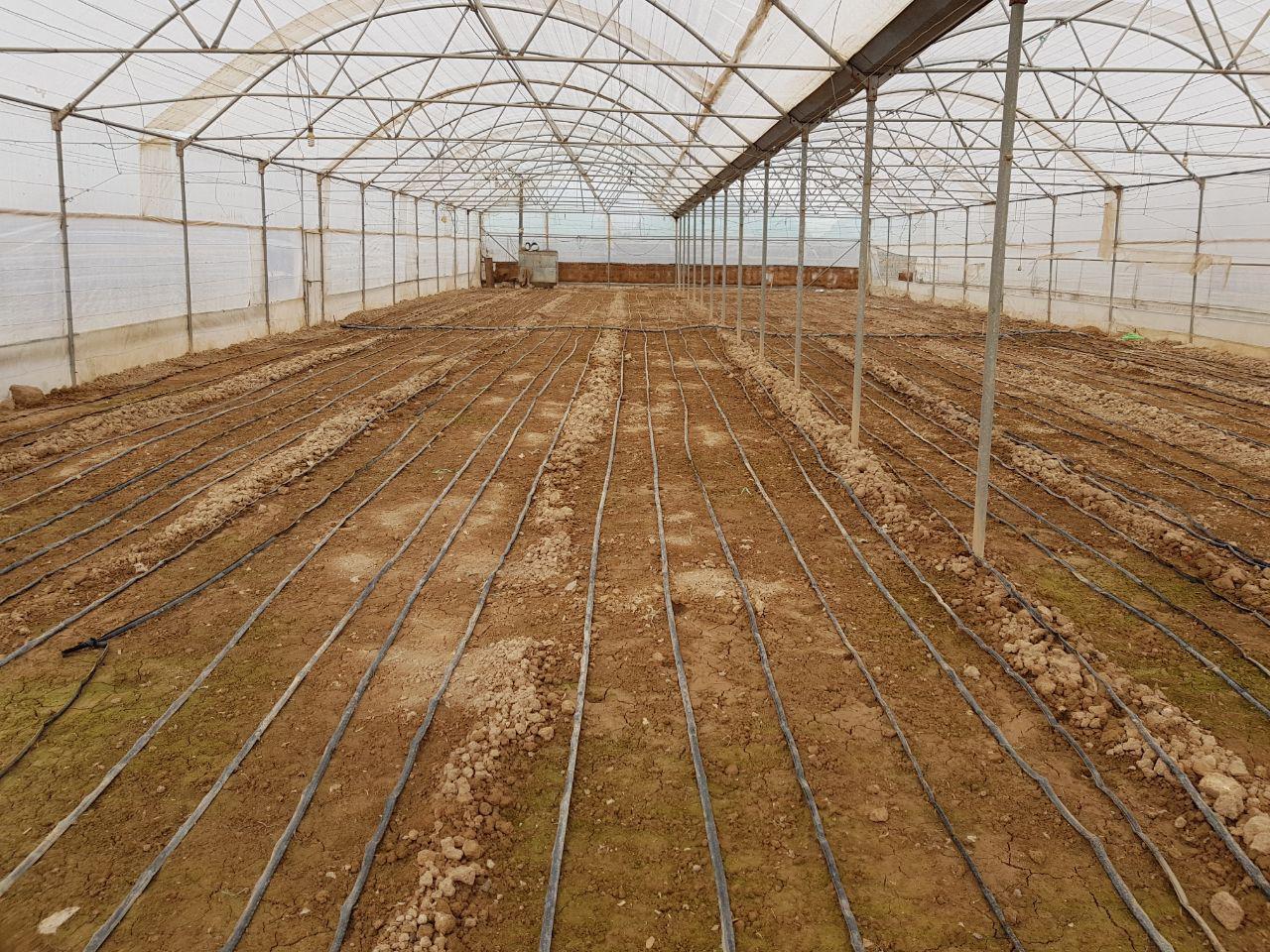 کاشت سیر با استفاده از امولسیون امیک در سمنان