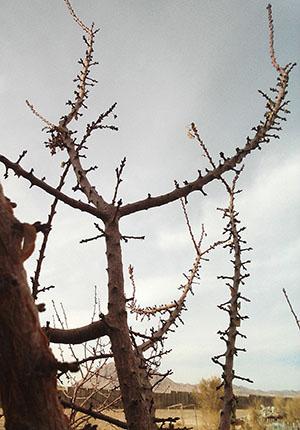 تأثیر محلول امیک بر تراکم و رشد جوانه های گل