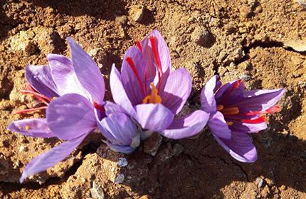 میزان و نحوه مصرف نهاده امیک و شیلد در کشت و پرورش زعفران